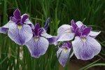 25 апреля во Флоренции откроется Сад Ирисов