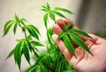 В итальянском парламенте обсуждают легализацию марихуаны
